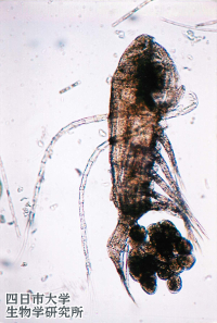 2601Acanthodiaptomus_pacificus_01_200x300n