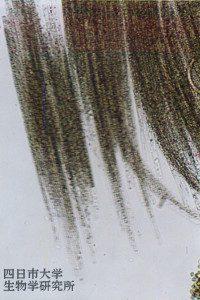 0201aphanizomenon_flos-aquae_02_200x300n