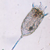 1741keratella_americana_f_hispida_01_200x200i